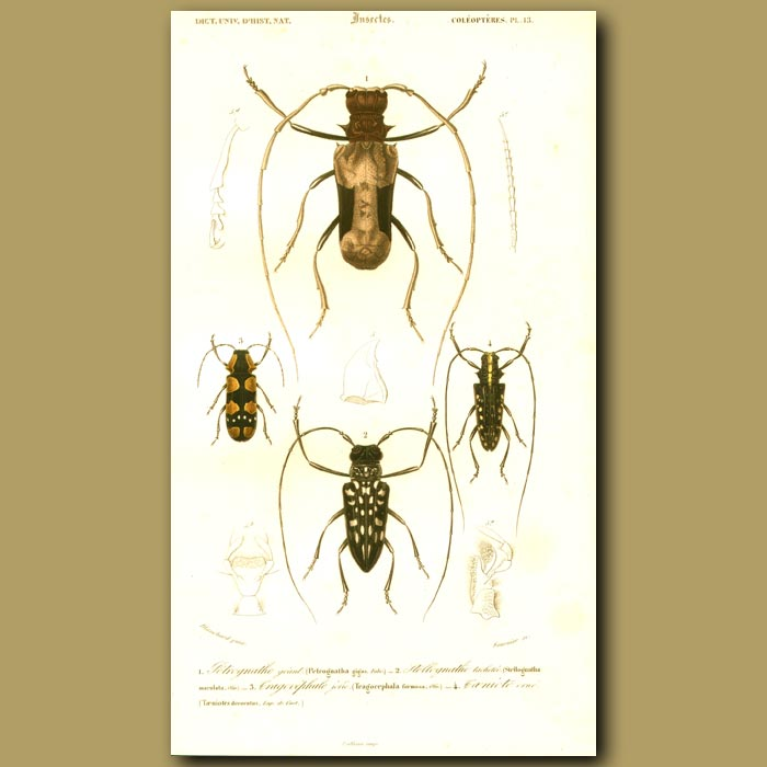 Antique print. Long-Horn Beetles