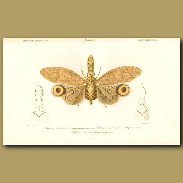 Antique print. Luminous Lantern Fly