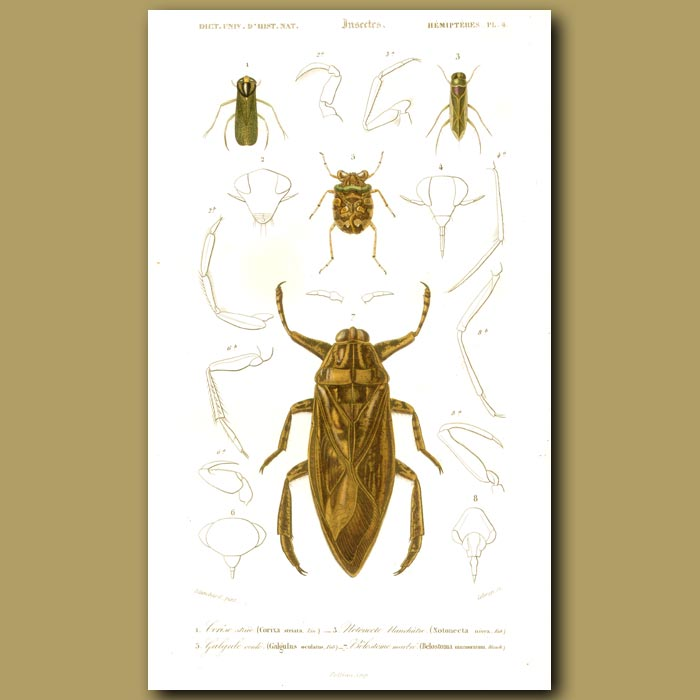 Antique print. Giant Water Bug
