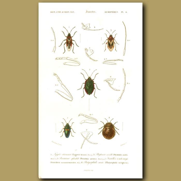 Antique print. Shield Bugs