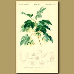 Italian Maple Tree