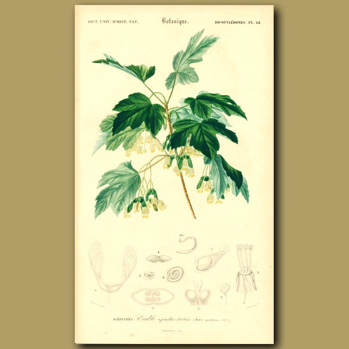 Antique print. Italian Maple Tree