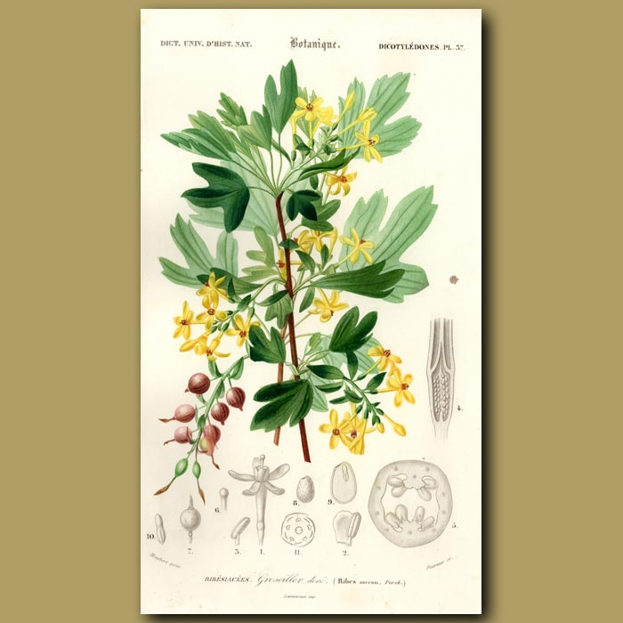 Antique print. Golden Currant