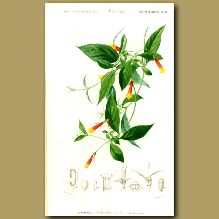 Antique print. Firecracker Vine