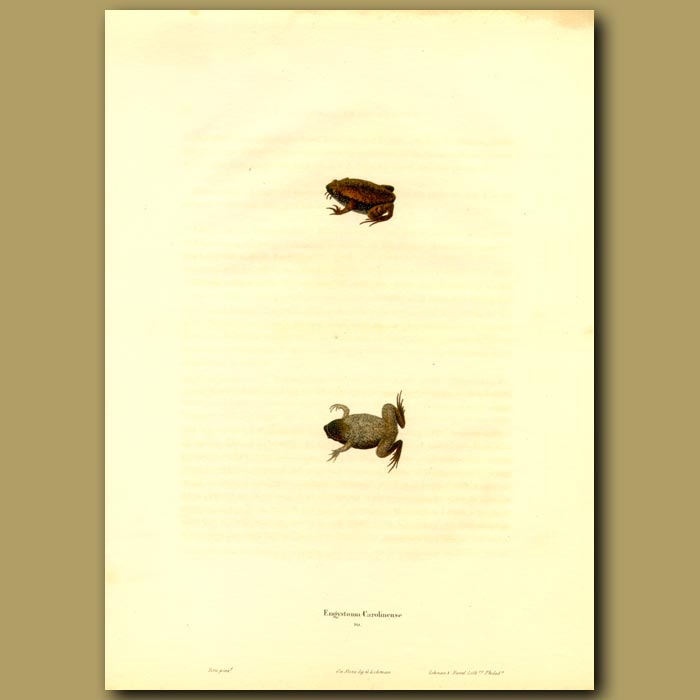 Antique print. Frog