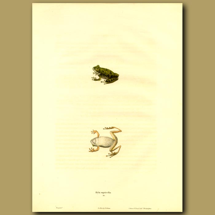 Antique print. Squirrel Treefrog