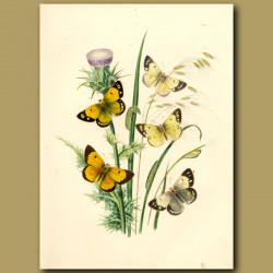 Clouded Yellow Butterflies On Milk Thistle And Fescue