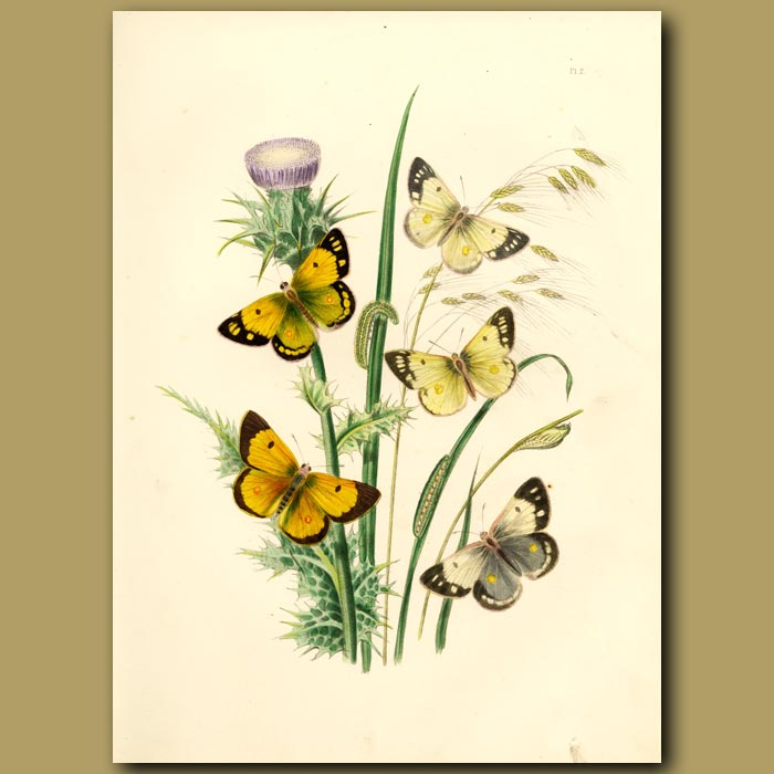 Antique print. Clouded Yellow Butterflies On Milk Thistle And Fescue