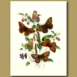 Silver And Green Fritillary Butterflies On Violet And Raspberry