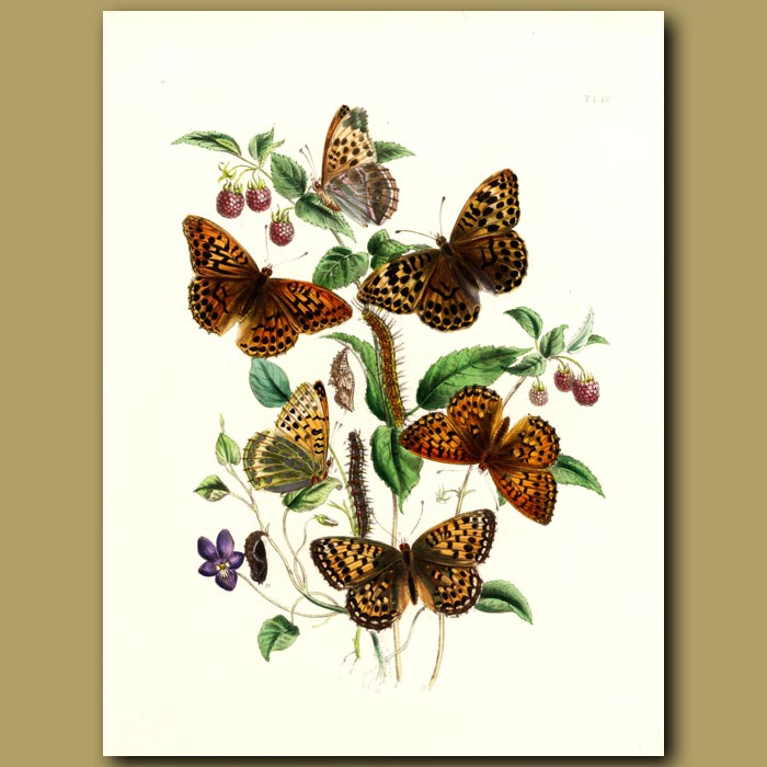 Antique print. Silver And Green Fritillary Butterflies On Violet And Raspberry
