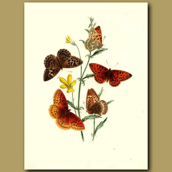 Antique print. Aphrodite And Other Butterflies On Viola