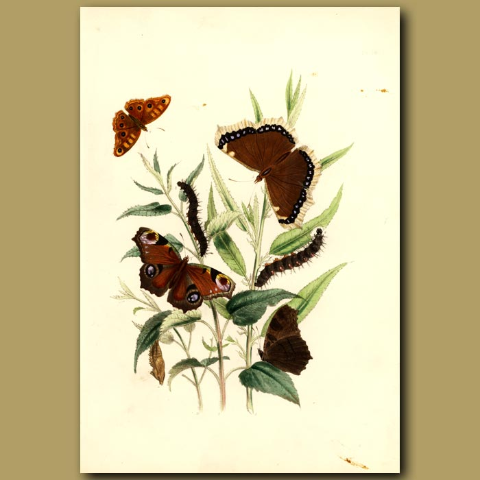 Antique print. Peacock And Camberwell Beauty Butterflies On Willow