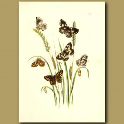 Marbled White And Speckled Wood Butterflies