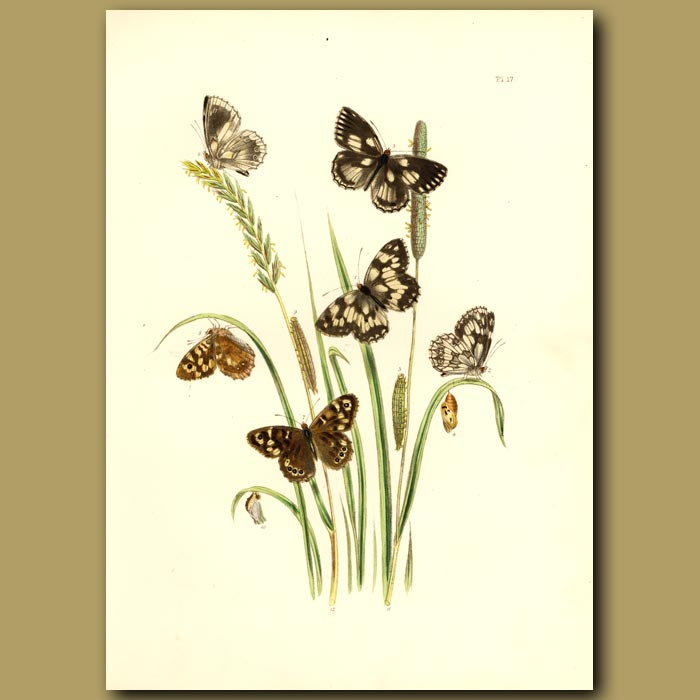 Antique print. Marbled White And Speckled Wood Butterflies