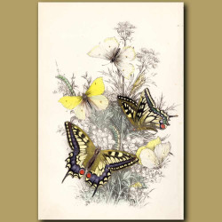 Great Swallow-tailed Butterfly and Brimstone Butterfly