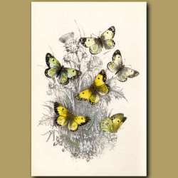Clouded Yellow Butterfly and Pale Clouded Yellow Butterfly