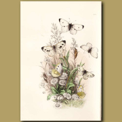 Small Cabbage-White Butterfly and Green-veined White Butterfly