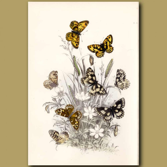 Antique print. Marbled White Butterfly, Speckled Wood Butterfly and Wall Butterfly