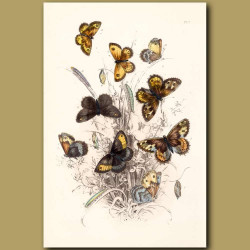 Grayling Butterfly, Meadow Brown Butterfly and Gate Keeper Butterfly