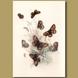 Ringlet Butterfly, Scarce Scotch Argus Butterfly and Small Ringlet Butterfly