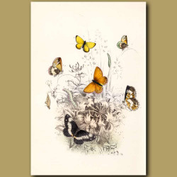 Marsh Ringlet Butterfly, Small Heath Butterfly and White Admiral Butterfly