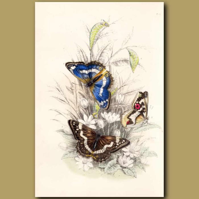 Antique print. Purple Emperor Butterfly