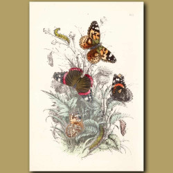 Painted Lady Butterfly and Red Admiral Butterfly