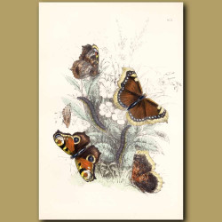 Peacock Butterfly and Camberwell Beauty Butterfly
