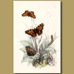 Great Tortoise-shell Butterfly