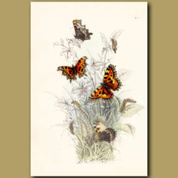 Small Tortoise-shell Butterfly and Comma Butterfly