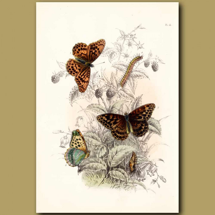 Antique print. Silver-washed Fritillary Butterfly