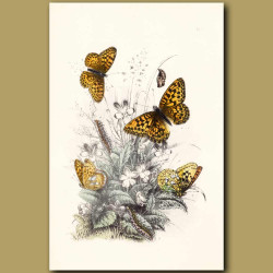 High-brown Fritillary Butterfly and Queen of Spain Fritillary Butterfly