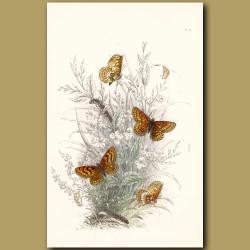 Glanville Fritillary Butterfly and Heath Fritillary Butterfly