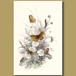 Greasy Fritillary Butterfly and Duke of Burgundy Fritillary Butterfly
