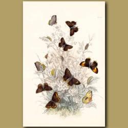 Brown Hair-streak Butterfly and Black Hair-streak Butterfly
