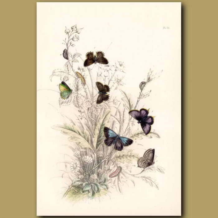 Antique print. Purple Hair-streak Butterfly and Green Hair-streak Butterfly