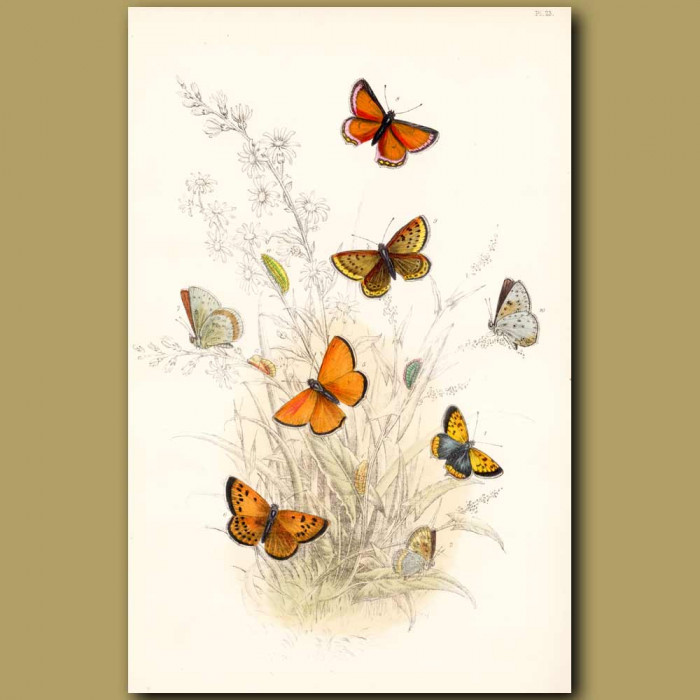 Antique print. Copper Butterfly, Purple-edged Butterfly and Scarce Copper Butterfly