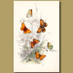 Scarce Copper Butterfly and Large Copper Butterfly