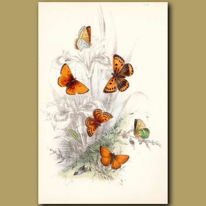 Antique print. Scarce Copper Butterfly and Large Copper Butterfly