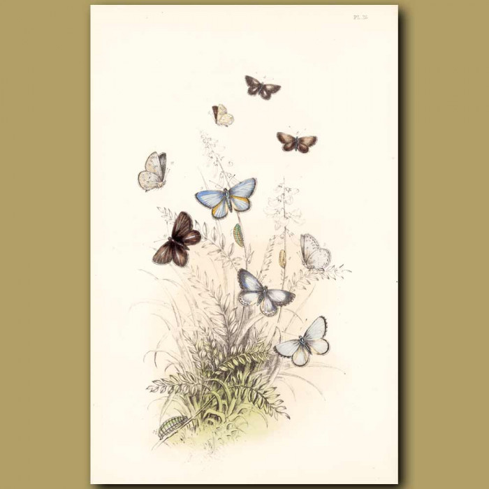 Antique print. Azure Blue Butterfly and Mazarine Blue Butterfly