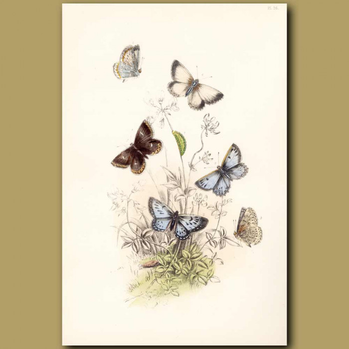 Antique print. Large Blue Butterfly and Chalk-hill Blue Butterfly