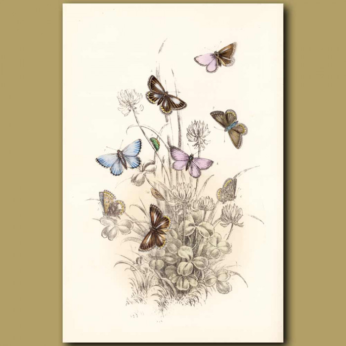 Antique print. Clifden Blue Butterfly and Common Blue Butterfly
