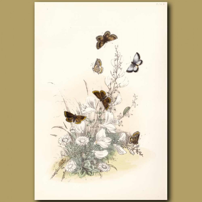 Antique print. Silver-studded Blue Butterfly and Brown Argus Butterfly
