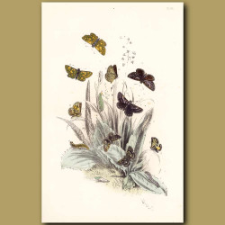 Grizzle Butterfly, Dingy Skipper Butterfly and Chequered Skipper Butterfly