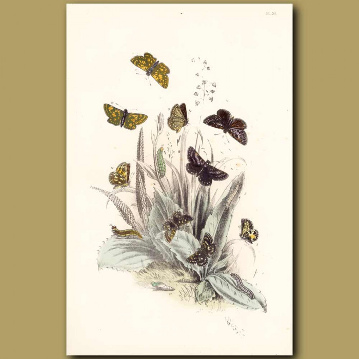 Antique print. Grizzle Butterfly, Dingy Skipper Butterfly and Chequered Skipper Butterfly