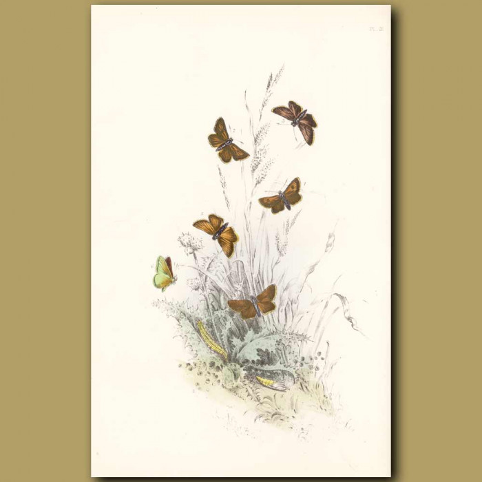 Antique print. Lulworth Skipper Butterfly and Small Skipper Butterfly