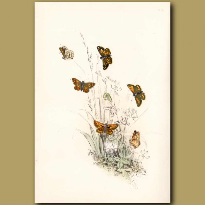 Antique print. Large Skipper Butterfly and Pearl Skipper Butterfly