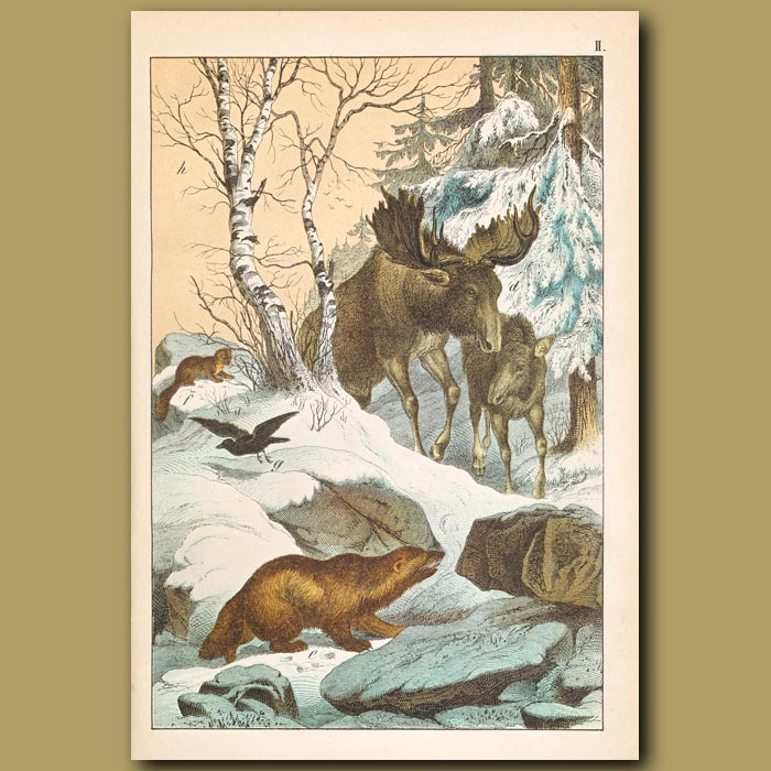 Antique print. Elk, Glutton [Wolverine] and Pine Marten in Snow Covered Birch Forest