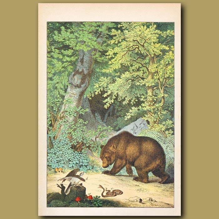 Antique print. Brown Bear, Buzzard, Adder Snake