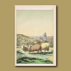 Shepherd and Merino Sheep